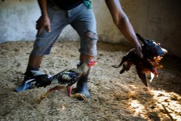 Cuba Les combats de coqs épargnés par la loi sur le bien-être animal)