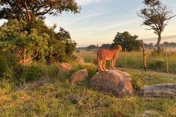 Deux guépards du Parc Safari réintroduits au Zimbabwe)