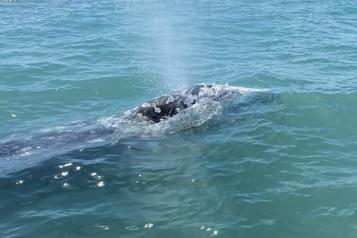 Originaire du Pacifique Nord La baleine égarée en Méditerranée a peu de chances de retrouver son milieu)