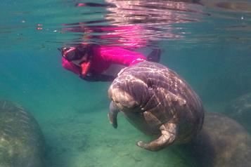 Rencontre subaquatique avec des lamantins en Floride