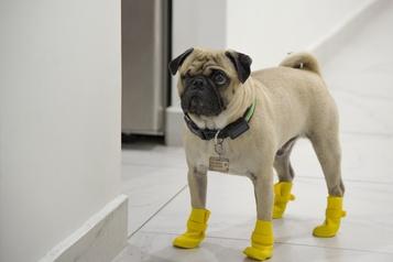 Le chien qui soulage le stress des médecins mexicains)