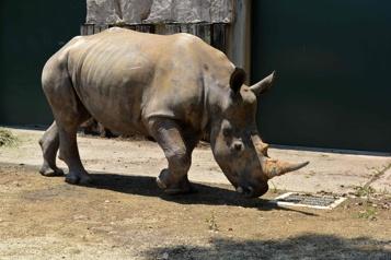 Une femelle rhinocéros blanc arrive au Japon pour trouver l'amour)