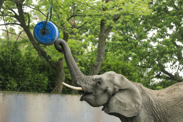 Planète bleue, idées vertes Zoo de Granby: des objets recyclés pour stimuler les animaux)