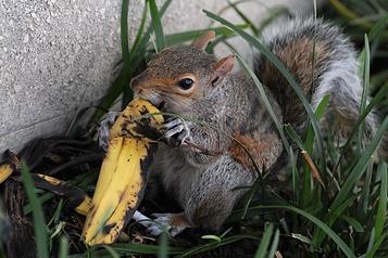 Jeter sa peau de banane ou son trognon dans un parc, ce n'est «pas si naturel»