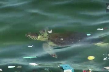 Les tortues réapparaissent dans la baie de Rio)