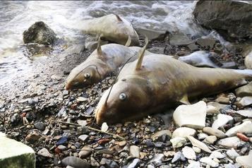 Poissons morts dans la rivière des Outaouais: deux compagnies ciblées