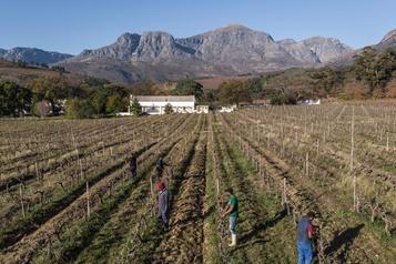 Les vignerons sud-africains souffrent en temps de pandémie)
