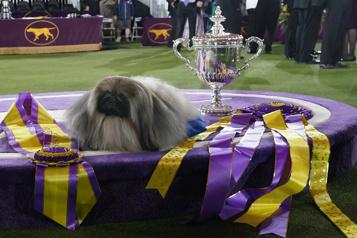 Un Pékinois remporte le célèbre concours canin de NewYork)