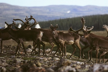 Caribous migrateurs de la rivière George Première augmentation du cheptel en 27 ans)