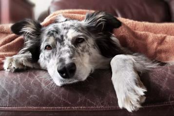 Les chiens aussi doivent se préparer à la fin du télétravail