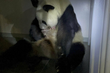 Des jumeaux pandas sont nés dans un zoo de Tokyo)