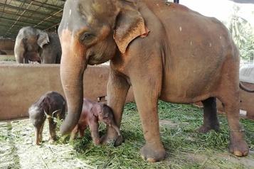 SriLanka Rare naissance d'éléphanteaux jumeaux en captivité