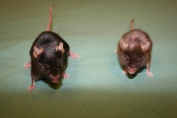 Des odeurs synthétiques reconnues par des souris)