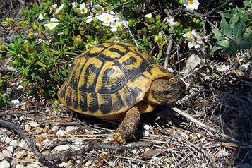 Un domaine viticole mis à l'amende pour avoir détruit l'habitat d'une tortue rare)