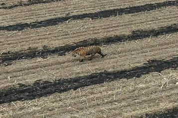 Un tigre de Sibérie sème la panique dans un village chinois)