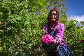 Au Maroc, le dur labeur des cueilleuses de roses)