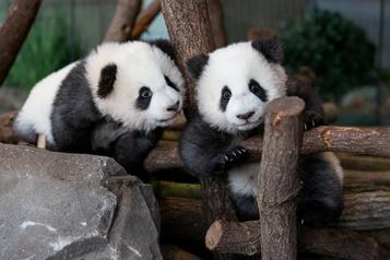 Deux bébés pandas attendent les visiteurs au zoo de Berlin