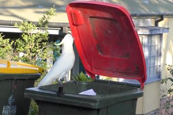 Même un couvercle de poubelle n'est pas à la merci des cacatoès)