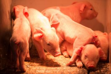 Le dossier Huawei s'invite aucongrès du porc à Québec