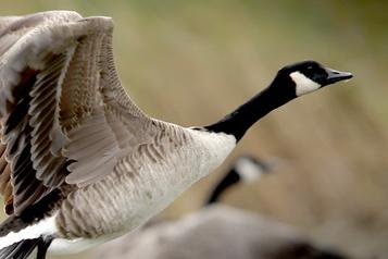 Sur les ailes des oiseaux migrateurs