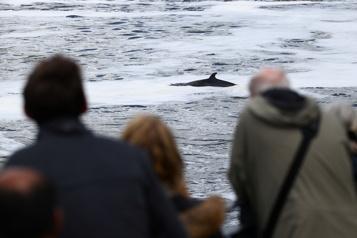 Une baleine coincée dans la Tamise secourue par des sauveteurs )