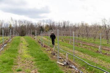 Chute des températures Des vignerons québécois sont inquiets)