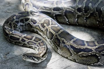 Un python en liberté à Gatineau)