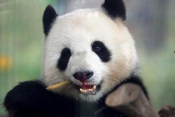 La femelle panda du zoo de Berlin attend un petit