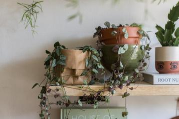 Plante du mois: la chaîne des cœurs pour un peu de réconfort)