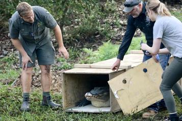 Dix alligators relâchés dans un parc Australien)