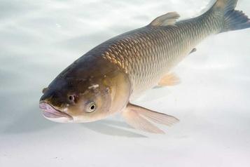 Une carpe asiatique pêchée dans le bassin de Chambly)