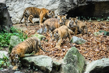 Corée du Sud Des bébés tigres quintuplés présentés au public dans un zoo