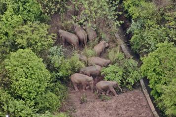 Chine Les éléphants en randonnée attendent le retardataire)