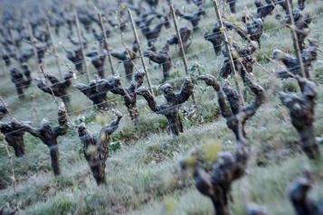 Gel en France La récolte de vin amputée «de 28% à 30%», selon la filière)