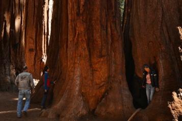 Californie Des séquoias emballés dans de l'aluminium pour les protéger des incendies)