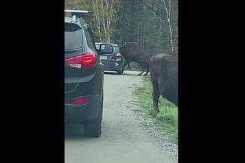 Parc Omega La tête d'un bison coincée dans une voiture