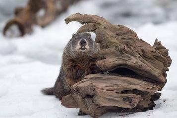 Jour de la marmotte: Sam en désaccord avec Phil, Fred et Willie