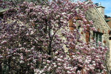Magnifiques magnolias)