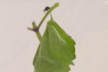 Une plante anti-coléoptère