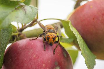 Un nid de frelons géants repéré aux États-Unis, une première)