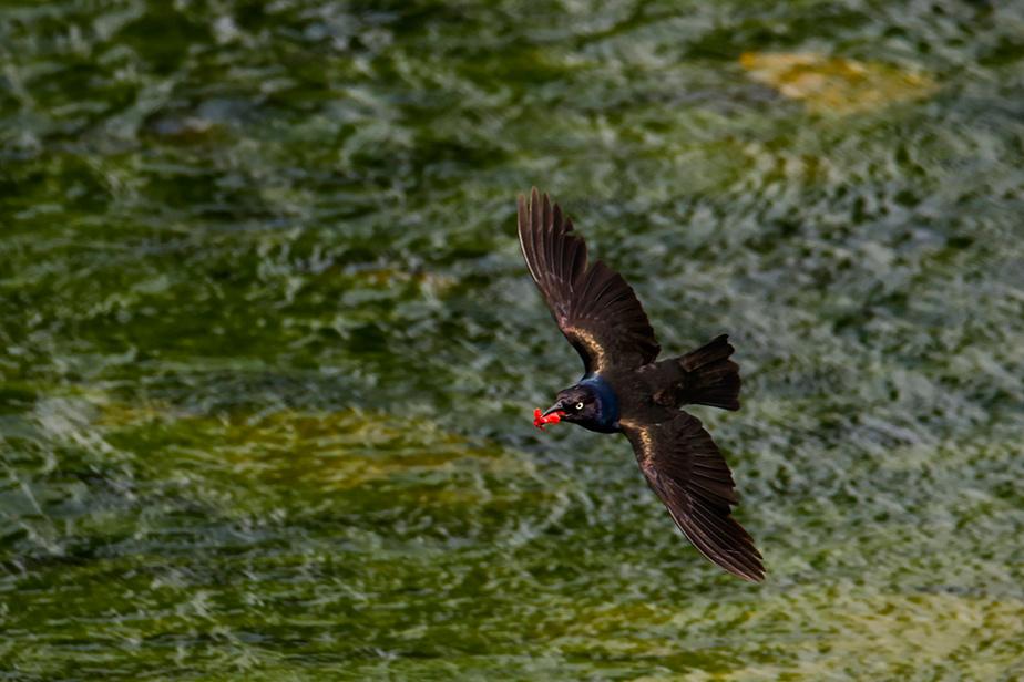 Un quiscale bronzé vole au-dessus de la rivière aux Brochets, à Pike River, dans les Cantons-de-l'Est.