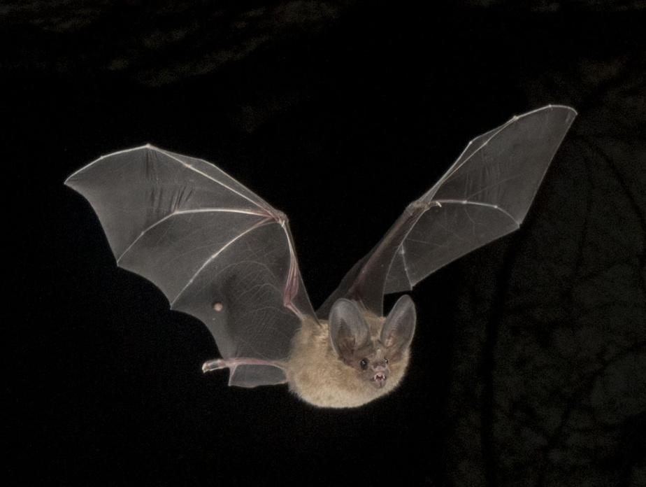 Murciélago Macrotus Waterhousii, una especie de cueva lejos del hogar