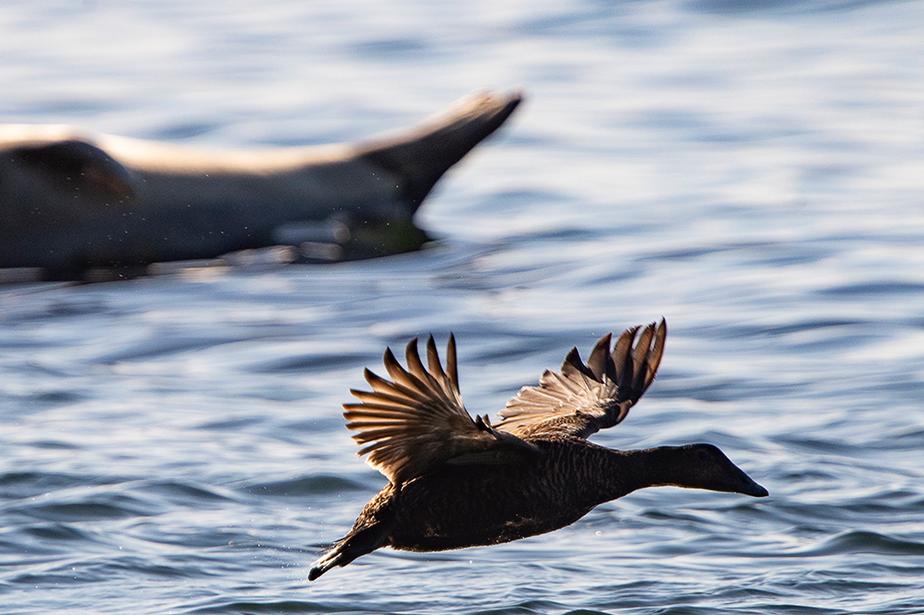 Un canard croise un phoque qui se prélasse sur une roche à fleur d'eau.