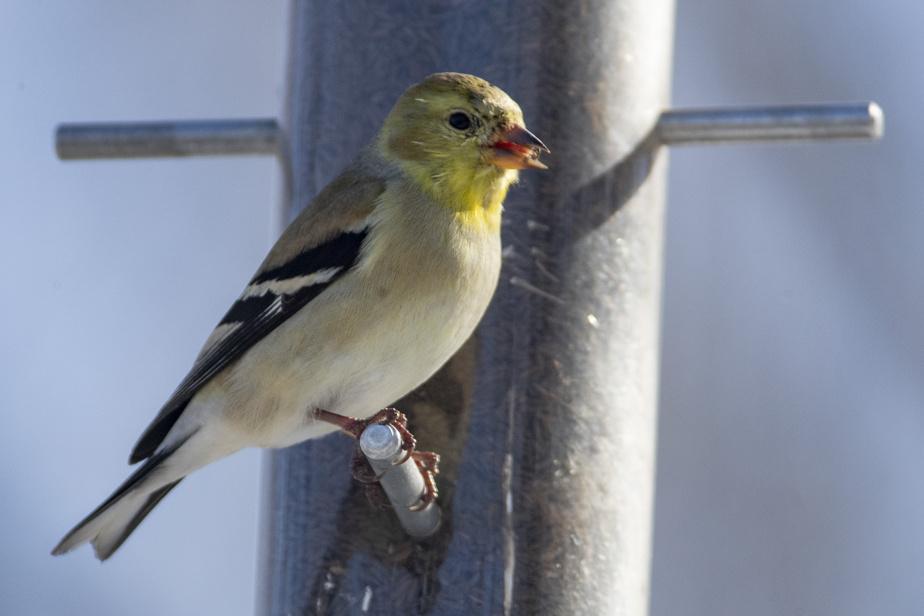 Un chardonneret jaune avec son plumage d'hiver, un peu moins éclatant que son plumage nuptial jaune vif.