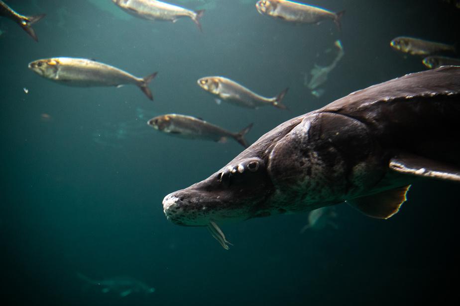 Pendant les rénovations, les poissons, comme cet esturgeon noir, ont été transportés de bassin en bassin à l'aide d'une tyrolienne.