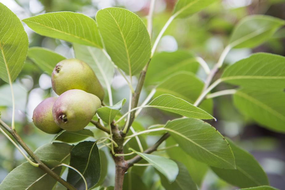 Les propriétaires affectionnent particulièrement les arbres fruitiers. Ici, le poirier exhibe ses premiers trophées.