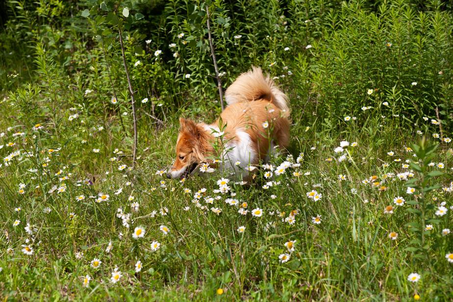 Des marguerites sauvages bordent le sentier, au grand plaisir de Lillie.
