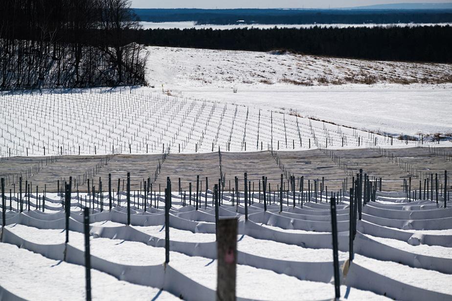 Le vignoble La Cantina à Oka, sous la neige