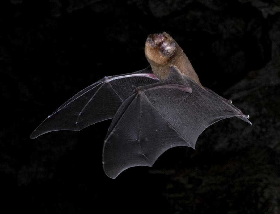 El murciélago Mormoops Blainvillei es una de las especies que se encuentran en Hogar lejos del hogar.