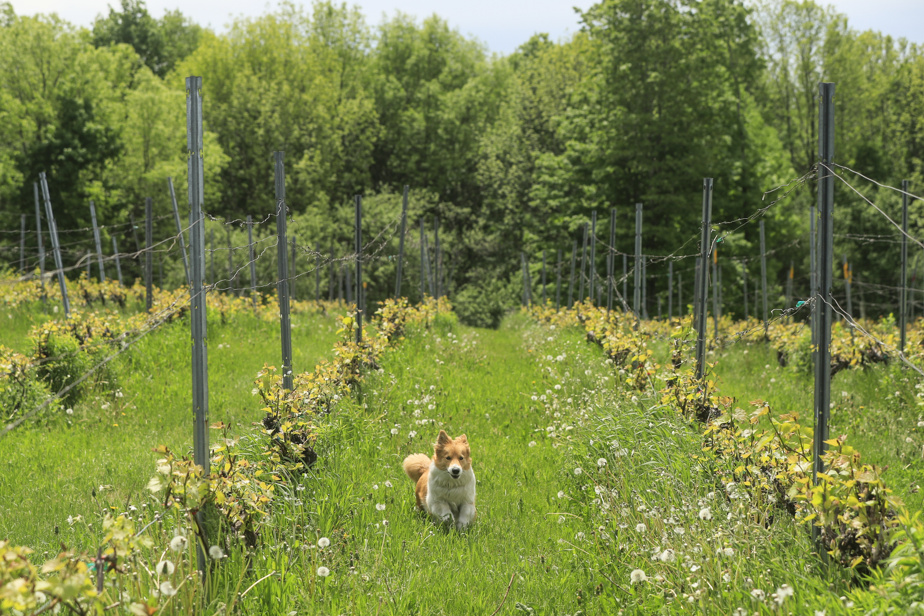 Lillie a couru à satiété au milieu des vignes de L'école du 3eRang.